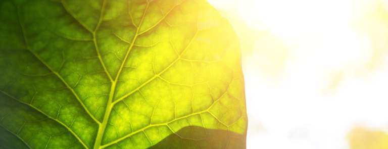 sunlight being absorbed by a green leaf
