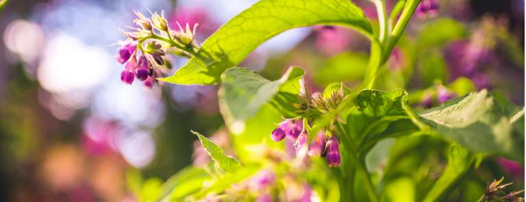 comfrey flower and plant