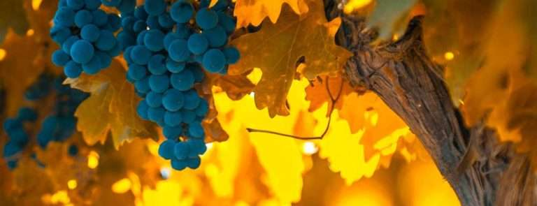 grapes hanging off a vine