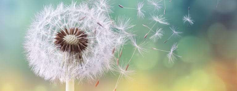 Dandelion with seeds blowing away